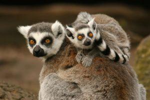 Madagascar's-Legendary-Lemurs
