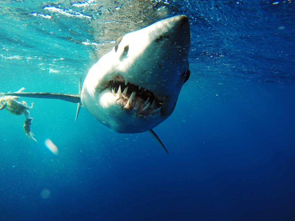 bigpacific-shark